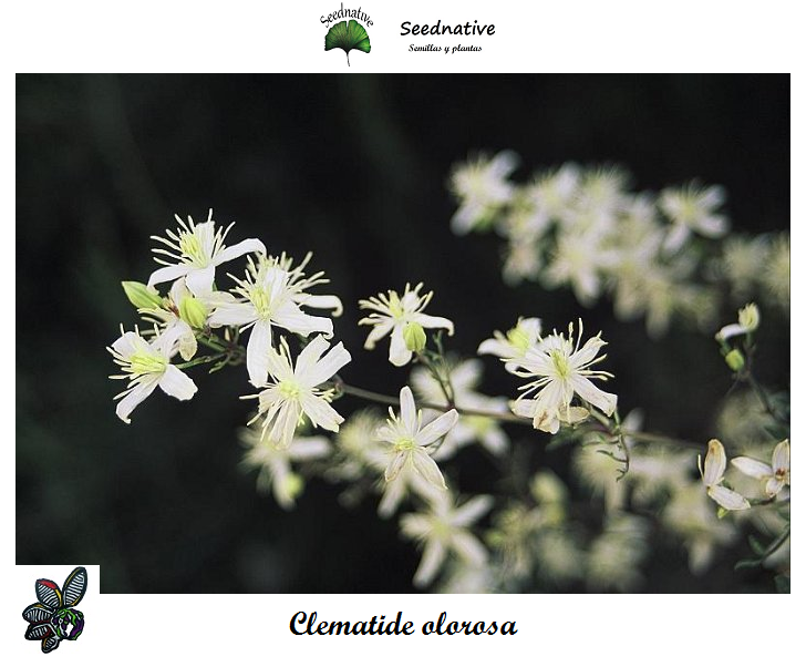 Clematis flammula - Clematide olorosa - 150 semillas - Fragrant Virgin's Bower