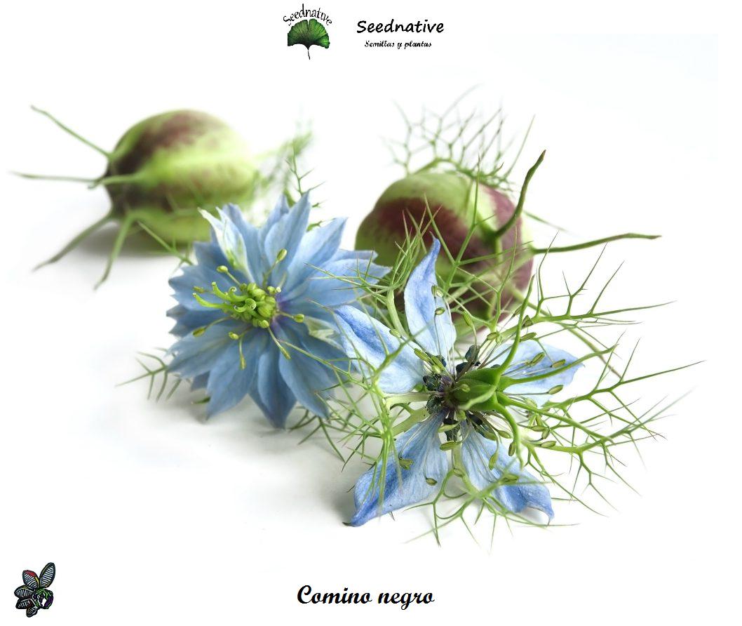 Semillas Aromáticas | Comino negro - Nigella sativa - 500 semillas - flor azul |