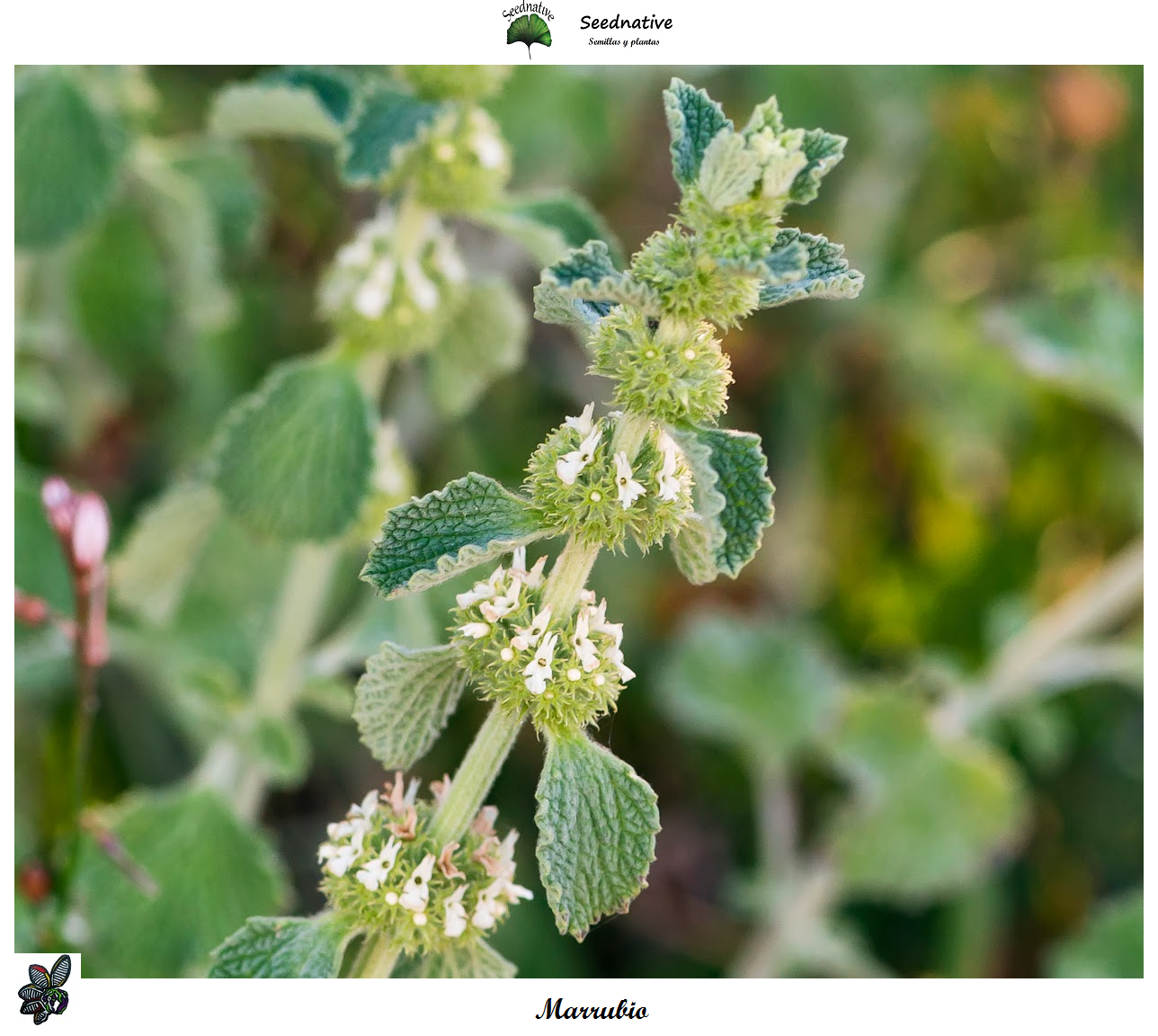 Marrubium vulgare - Marrubio - 1000 semillas - Horehound