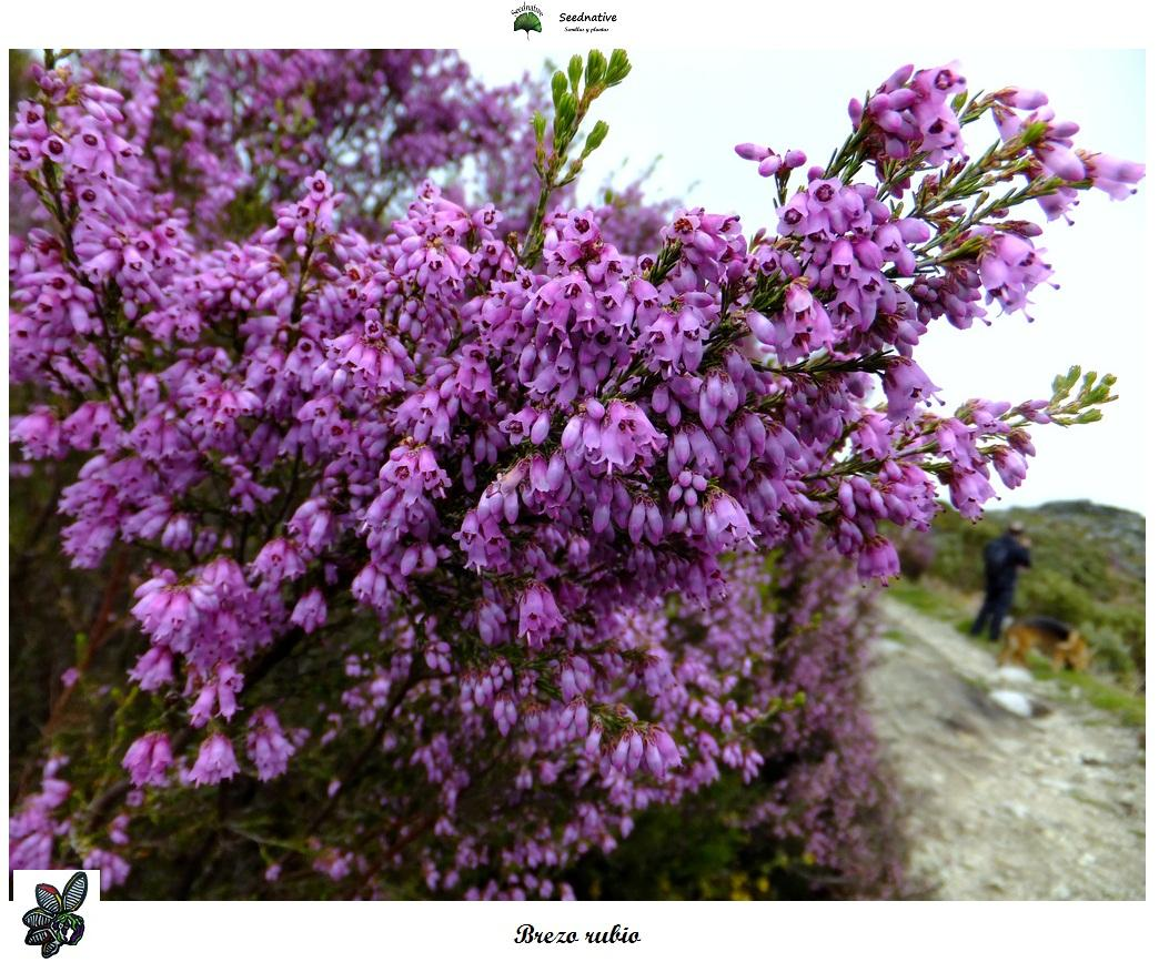 Erica australis - Brezo rubio - 3000 semillas - Spanish Heather