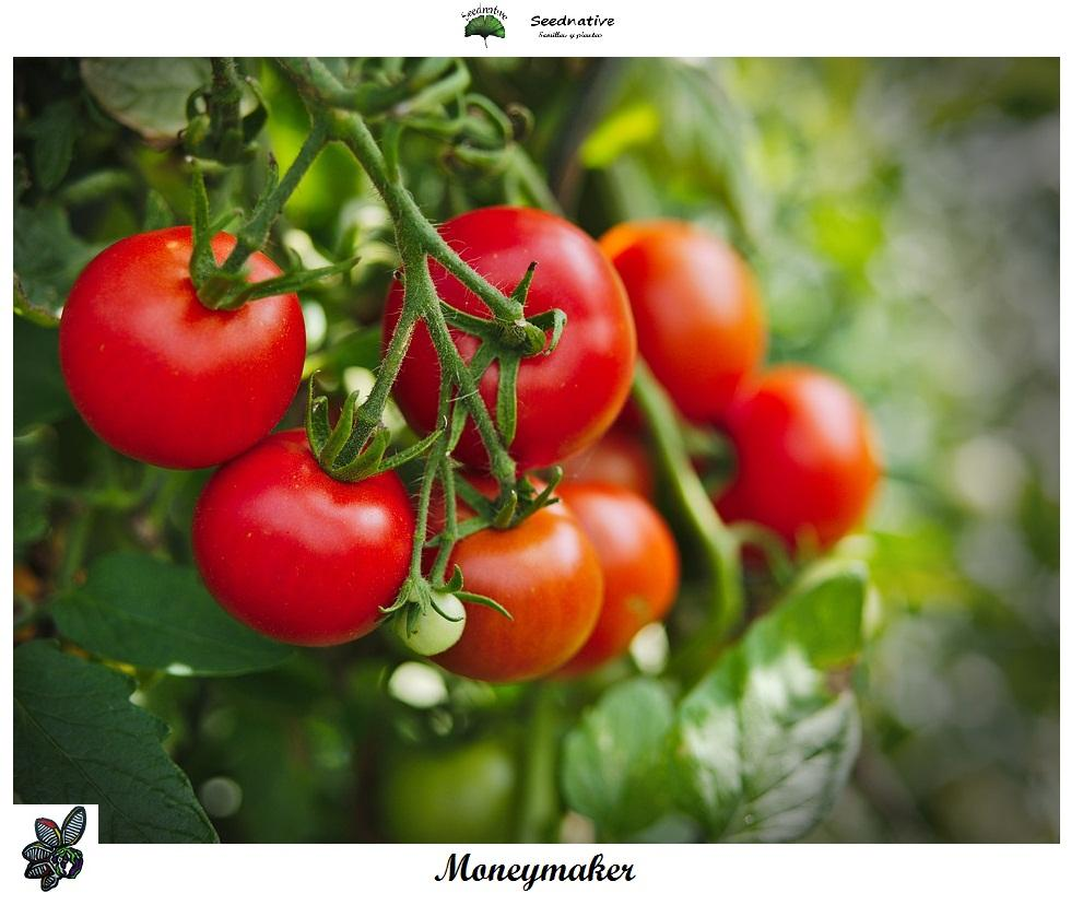 Tomate Moneymaker - 150 semillas - var. tomate productivo - seeds