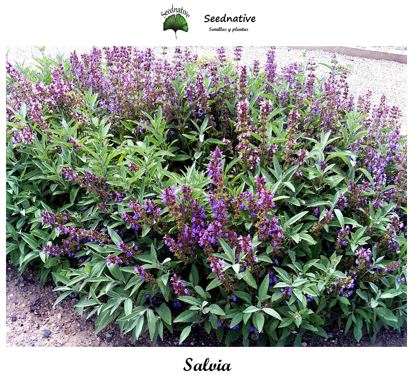 Salvia officinalis - Salvia - 100 semillas - Common sage