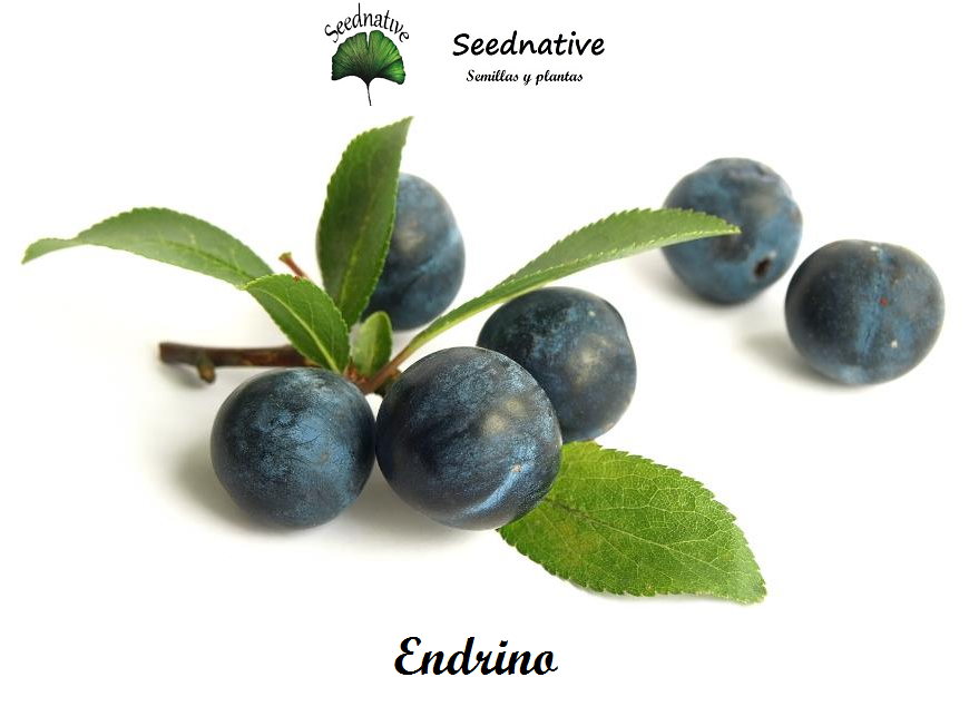 Prunus spinosa - Endrino - 25 semillas - Blackthorn