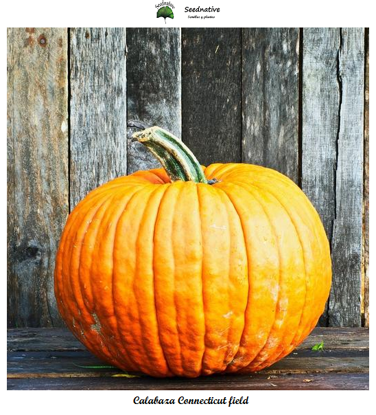 Calabaza Connecticut field - 20 semillas - seeds