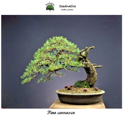 Pino carrasco - Pinus halepensis - 40 semillas