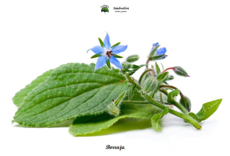 Borago officinalis - Borraja - 100 semillas