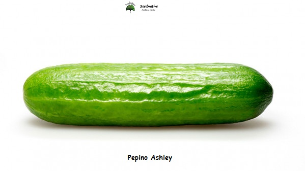 Pepino Ashley - 100 semillas - seeds