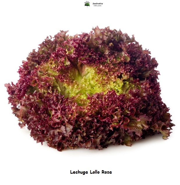 Lechuga Lollo Rosa - 5000 semillas - seeds