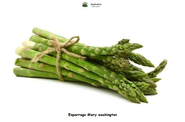 Esparrago Mary washington - 100 semillas - seeds