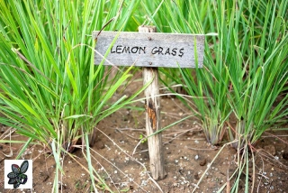 Cymbopogon flexuosus - Lemongrass - 300 semillas