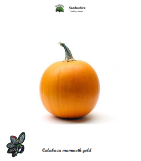 Calabaza MAMMOTH GOLD - 15 semillas - seeds