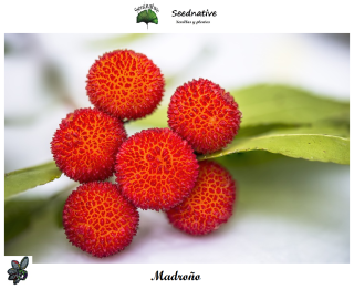 Arbutus unedo - Madroño - 100 semillas - Strawberry tree