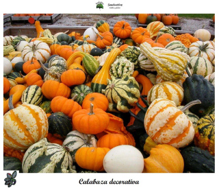 Calabaza Decorativa - 30 semillas - seeds - pumpkin