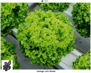 Lechuga Lollo Bionda - 5000 semillas - seeds