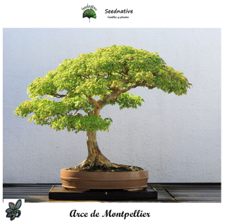 Acer monspessulanum - Arce de Montpellier - 50 semillas - Montpellier Maple
