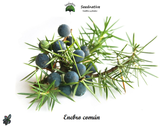 Juniperus communis - Enebro común - 100 semillas - Common juniper