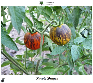 Tomate Purple Dragon - 30 semillas - var. tomate azul