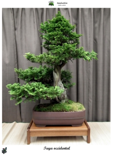Thuja occidentalis - Tuya occidental - 100 semillas